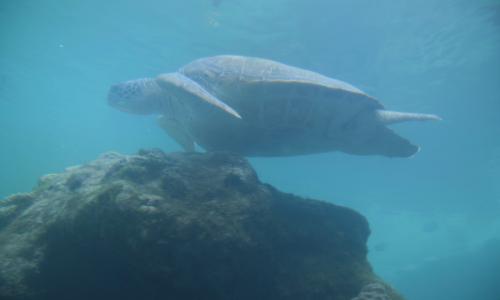 L'une des tortues du centre Kélonia